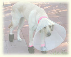 Dog with cone collar and protective foot pads